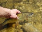 ryby v ruce chycené v řece