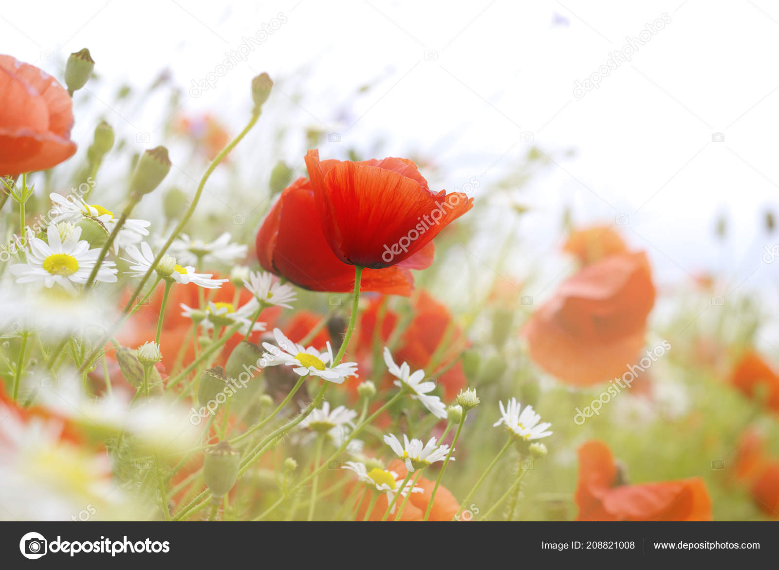 Red Photography Stunning Flower Poppy Picturesque Picturesboss