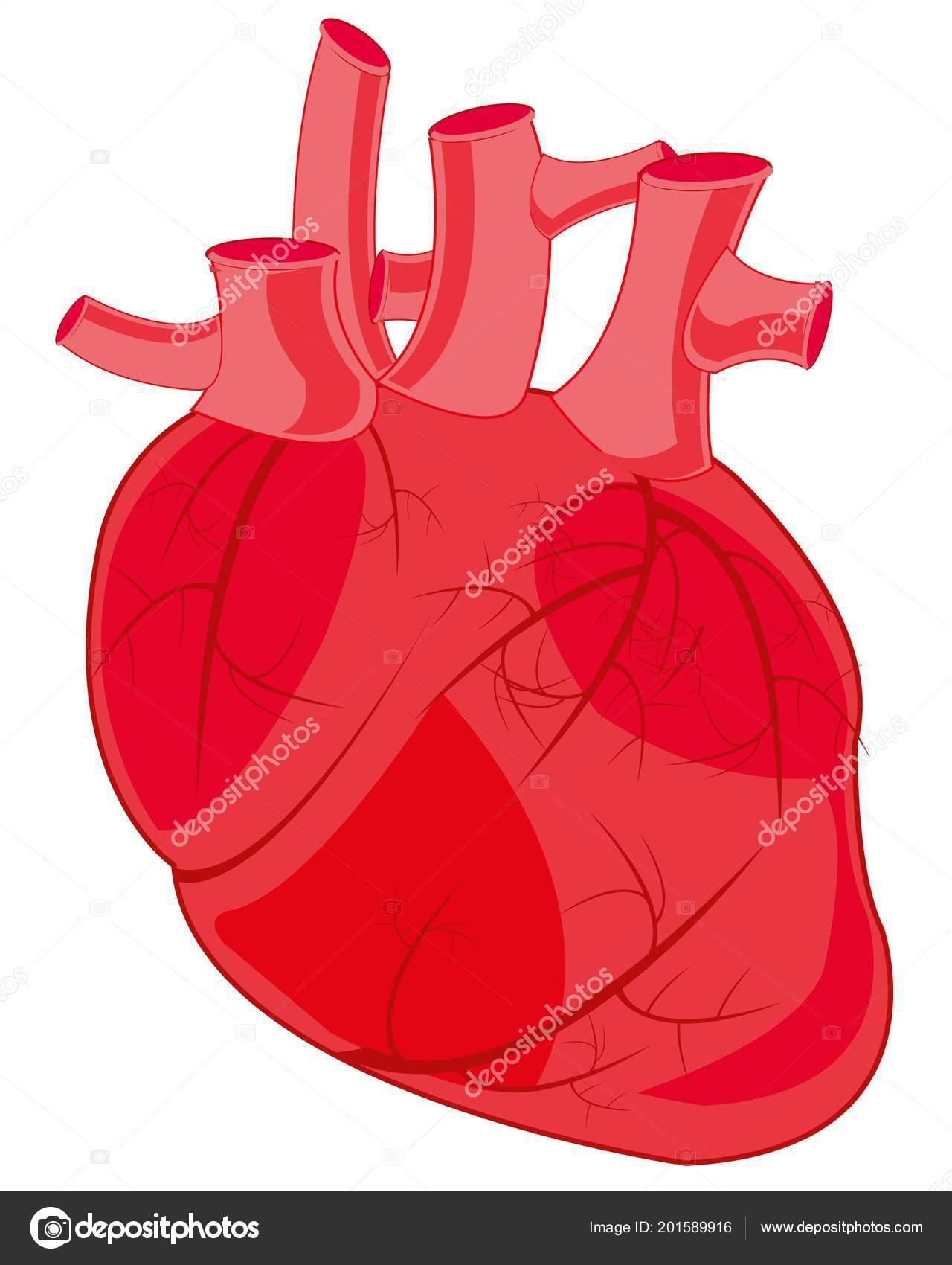 Internal organ of the person heart vetores de stock cobol1964 internal organ of the person heart vetores de stock ccuart Gallery