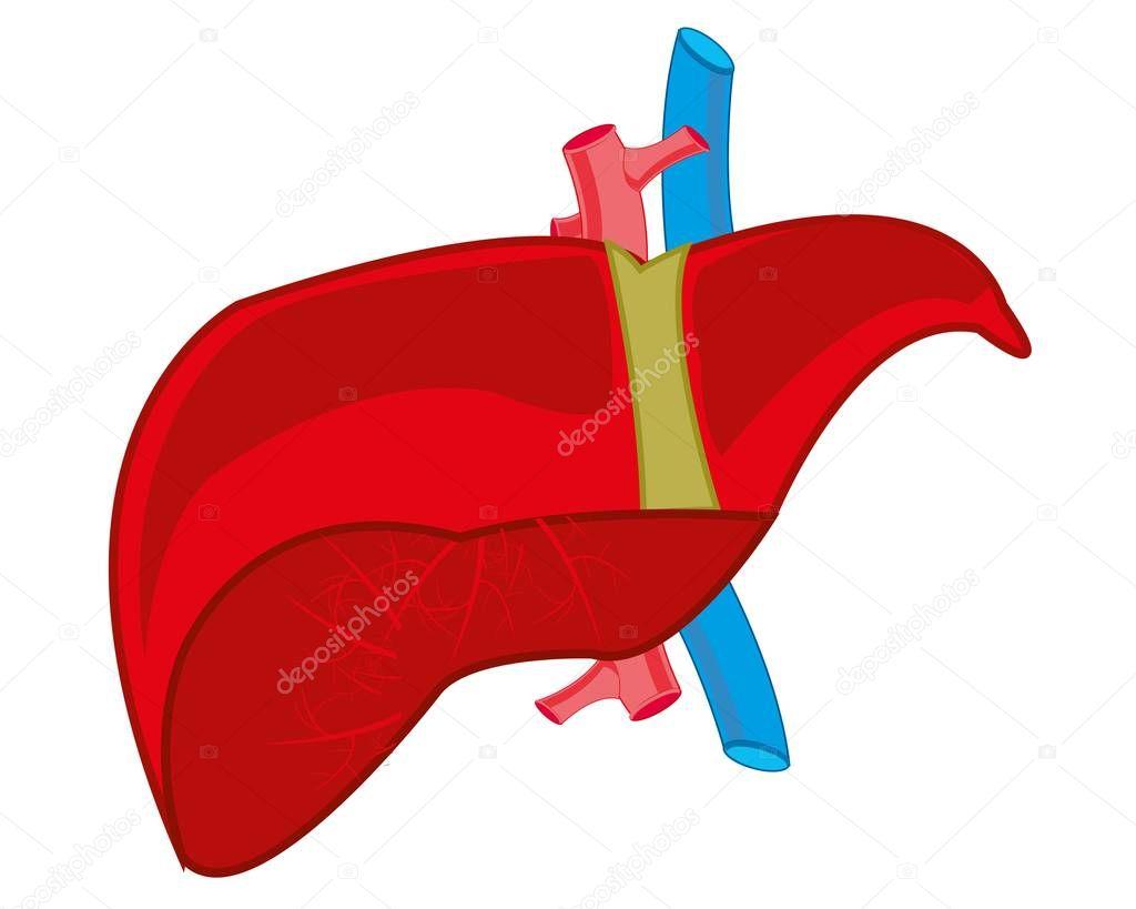 Internal organ liver