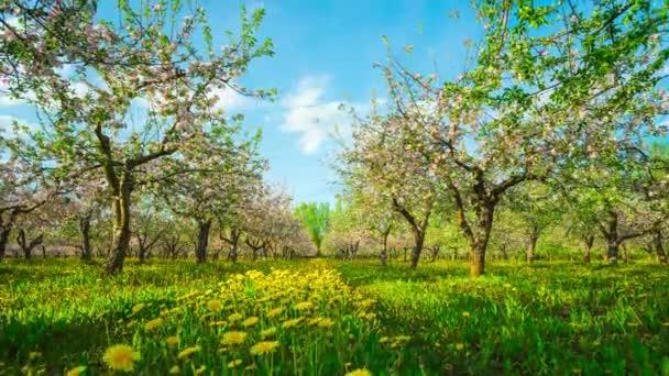 Blühender Apfelgarten, Zeitraffer mit Schieberegler