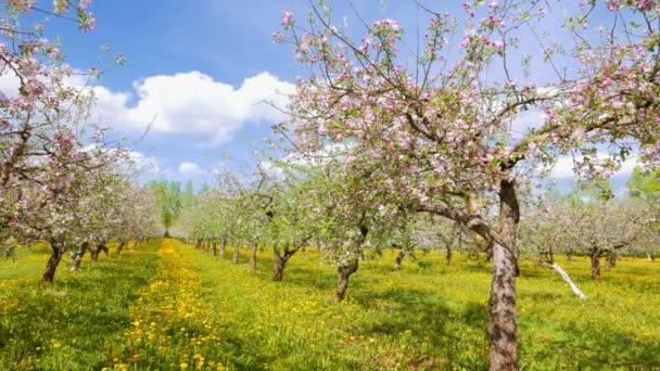 Kvetoucí jabloňový sad, pan
