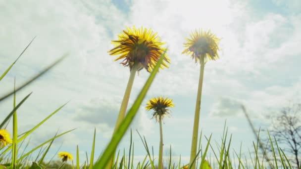 Dandelii kvetou na slunci