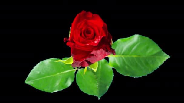 Vörös rózsa virágzik, idő-lapse az alfa-csatorna
