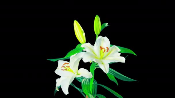 White lilies blossom, time-lapse with alpha channel