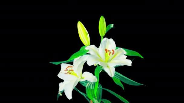 Fehér liliomok virág, idő-lapse az alfa-csatorna