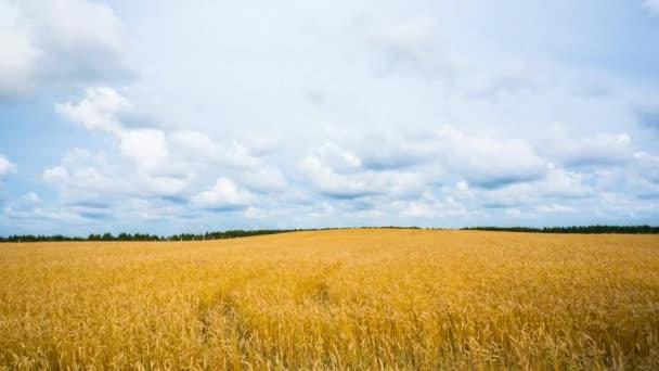 Pšenice, časová prodleva