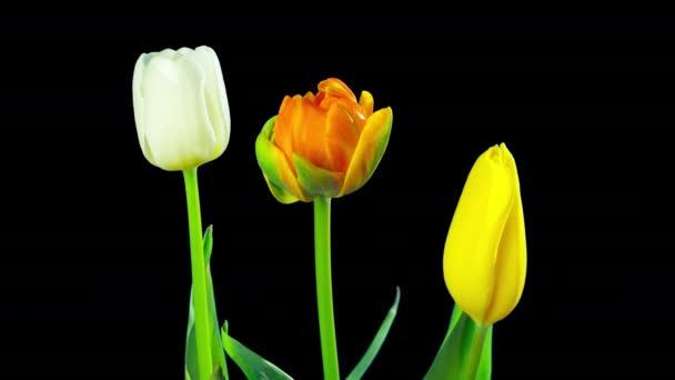 Turty rostou a kvetou, časová prodleva s alfa kanálem
