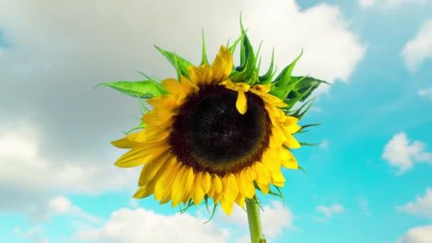 Slunečnicová Kveta, časová prodleva