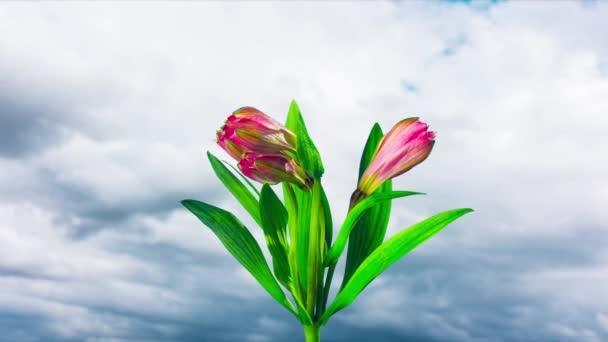 Alstroemerie květinové květy, časová prodleva
