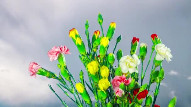 Bouquet of Carnations Blooms, time-lapse