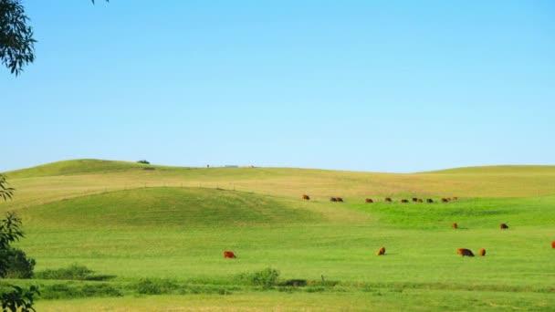 Rudé skotské krávy na louce