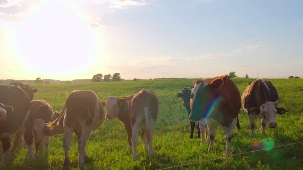 Zvědavé krávy na louce