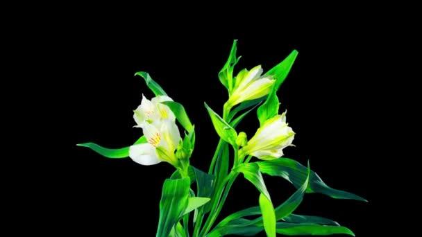 Alstroemerie květinové květy, časová prodleva s alfa kanálem