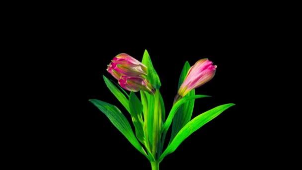 Alstroemeria virág virágokat, az idő-lapse az alfa-csatorna