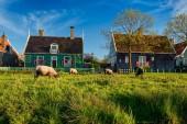 Photo Sheeps grazing near farm houses in the museum village of Zaanse