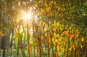 Sun shining through bamboo leaves