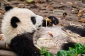 Photo Giant panda bear in China