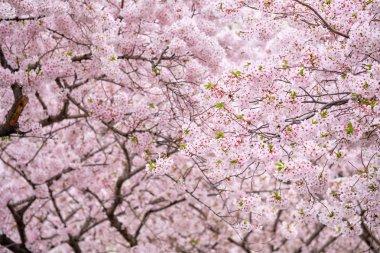 Blooming sakura cherry blossom background in spring, South Korea stock vector