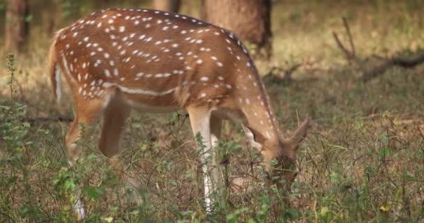 Krásná fena chital nebo skvrnitý jelen pasoucí se v Národním parku Ranthambore, Rajasthan, Indie
