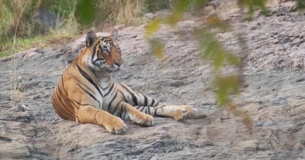 Krásný královský bengálský tygr odpočívající v džungli. To je populace Panthera Tigris původem z indického subkontinentu. Je to indické národní zvíře. Národní park Ranthambore, Rajasthan, Indie