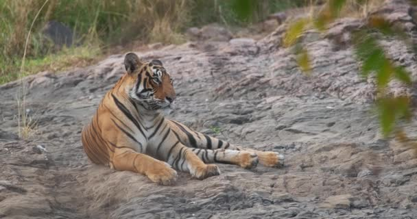 Beautiful Royal Bengal Tiger resting in jungle. This is Panthera tigris population native to the Indian subcontinent. It is the National animal of India. Ranthambore National Park, Rajasthan, India