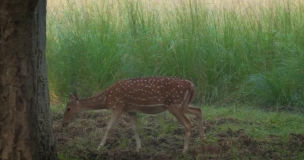 Mladá samice chital nebo skvrnitý jelena chůzi. Čerstvá zelená tráva v lese Národního parku Ranthambore. Safari, ekologická turistika, koncepce ochrany zvířat. Rajasthan, Indie