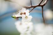 květů meruněk