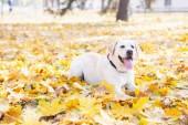 Roztomilý Labradorský retrívr v parku na podzim, zaměření na popředí