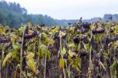 Sonnenblumen wachsen nach chemischer Behandlung
