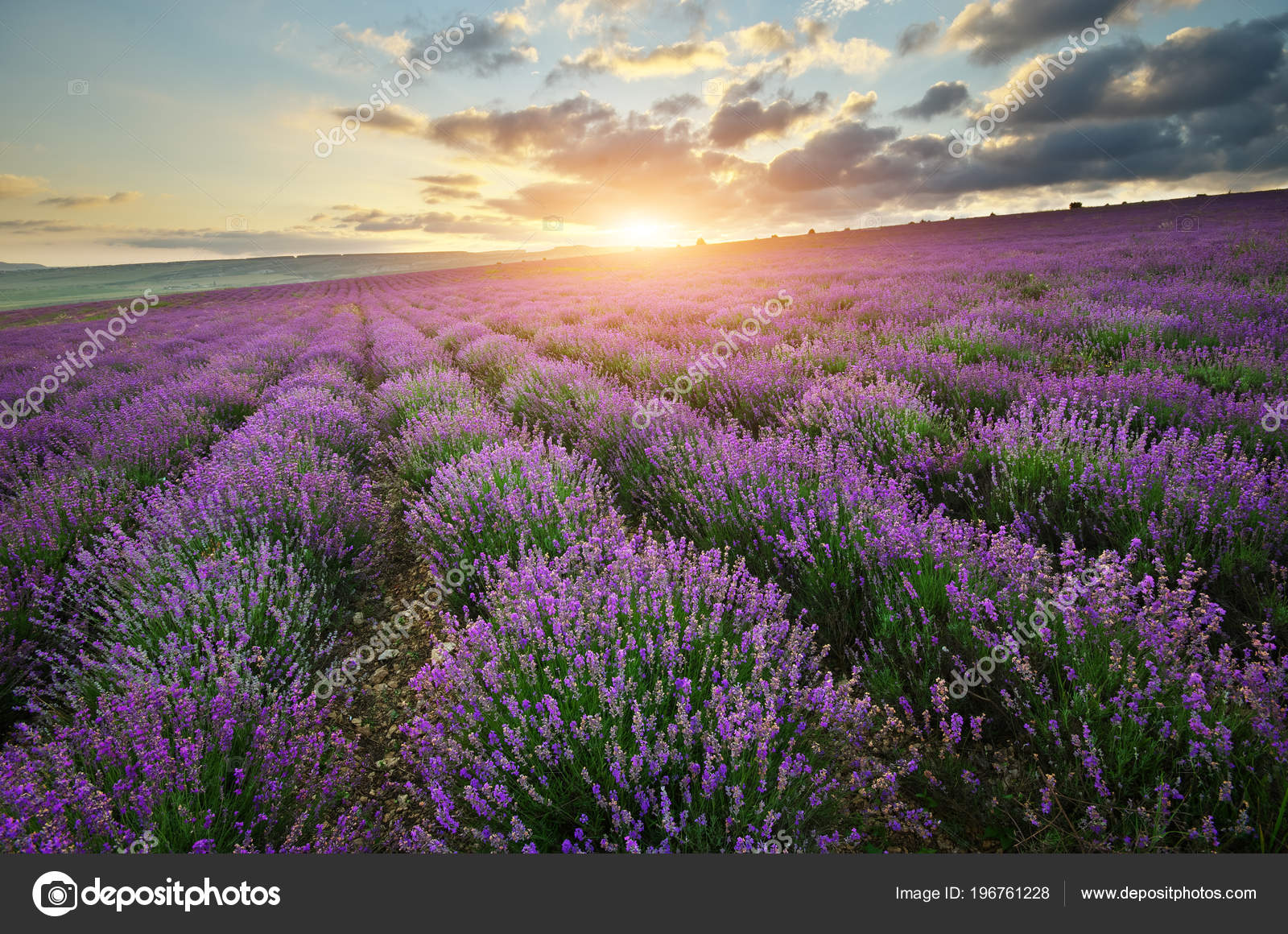 Lavender Beautiful Meadow Agricultural Farm Spring Time Nature