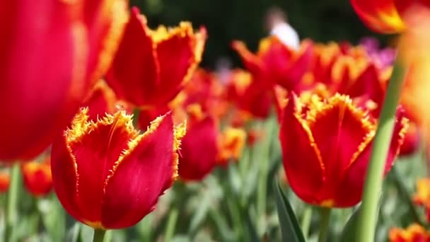 Close-up red tulips blooming in the flower garden. Springtime background
