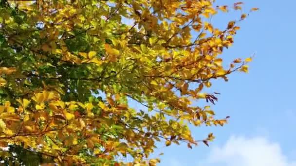 Zlatá podzimní listí na větru. Barevné listí. Stromy v podzimním lese. Podzimní scény záběry