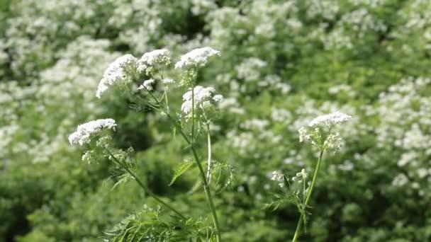 Der Strauch einer blühenden Pflanze steckt in einem schwachen Wind fest. Im Hintergrund ist ein großes Feld dieses Grases