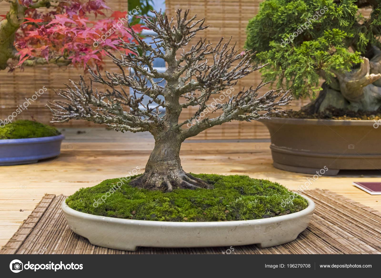Bonsai Arce Tridente Acer Buergerianum Edad Años Exposición Bonsáis