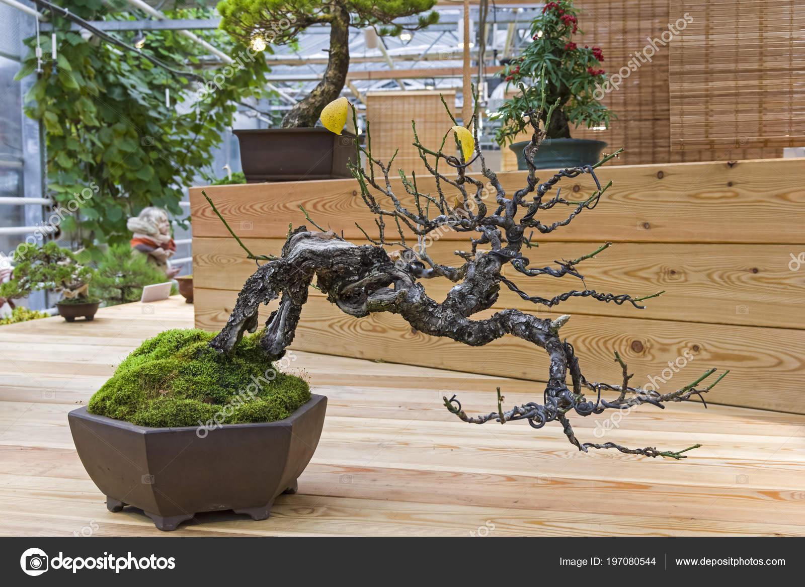 Bonsai Japanese Apricot Prunus Mume Age 100 Years Exhibition Bonsai Stock Photo C Possum 197080544
