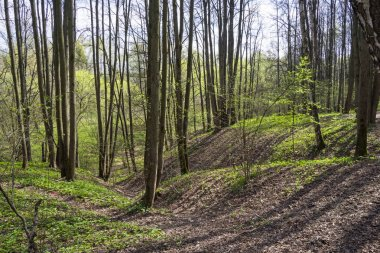 A small ravine in the spring forest. Forest Park Uzkoye, Moscow. Sunny day at the beginning of May.