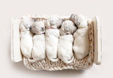 Top view of five cute newborn golden retriever puppies sleeping
