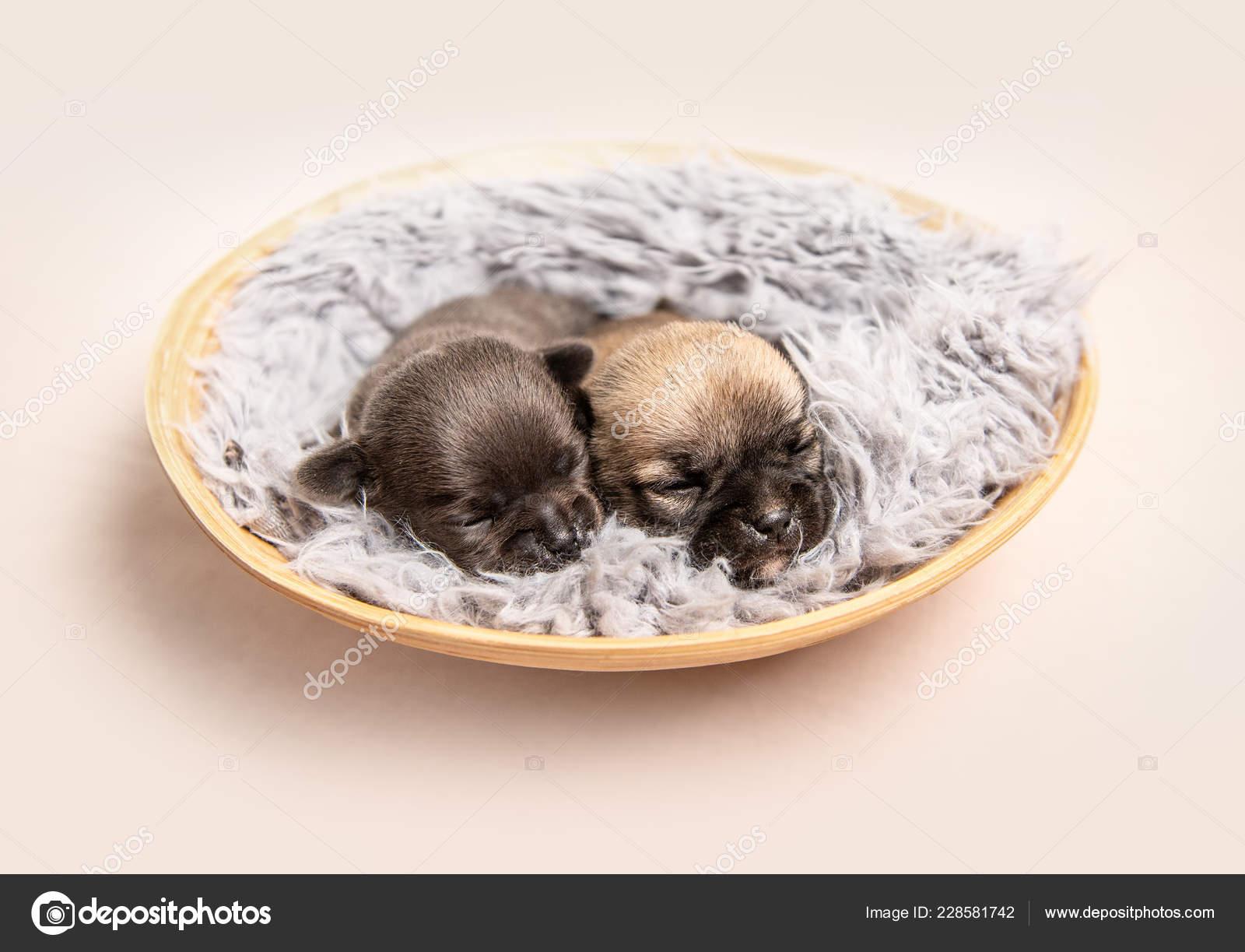 Piccoli Cuccioli Di Razza Chihuahua Sul Copriletto Foto Stock