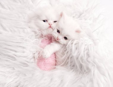 newborn Scottish kittens on white fur