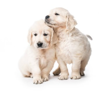 Two golden retriever puppies together isolated