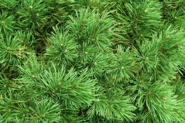 Branches of a coniferous tree, nature background