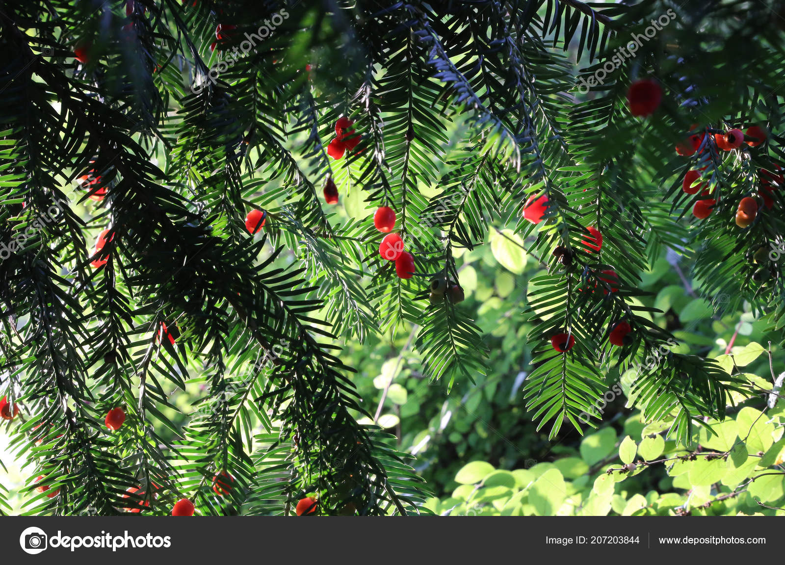 red berries growing evergreen yew tree branches european yew taxus