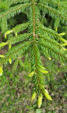 Branch of bright green coniferous tree