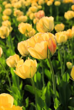 Close-up of beautiful bright yellow spring tulips