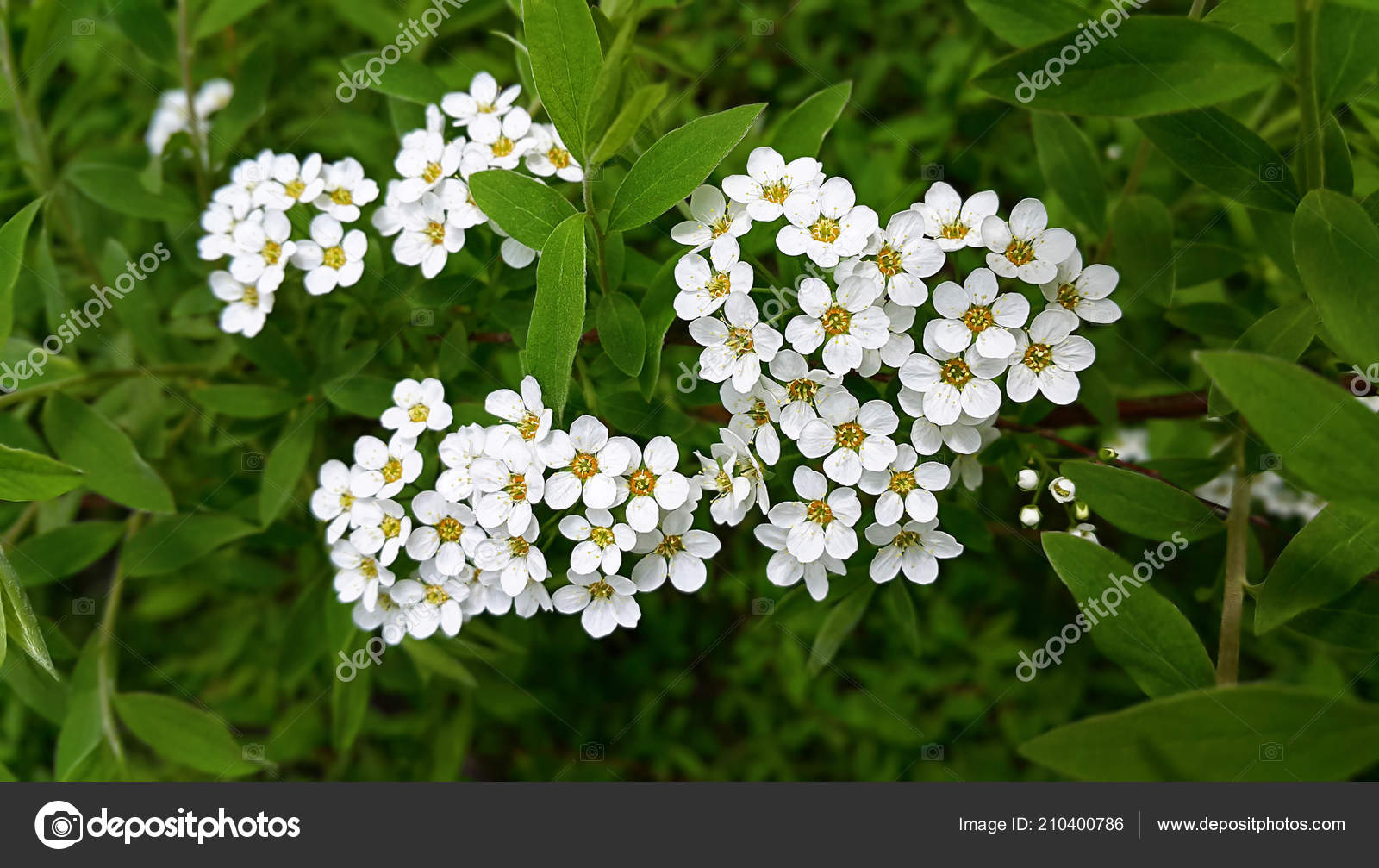 Spring flowering shrub white flowers stock photo dink101 210400786 spring flowering shrub white flowers stock photo mightylinksfo