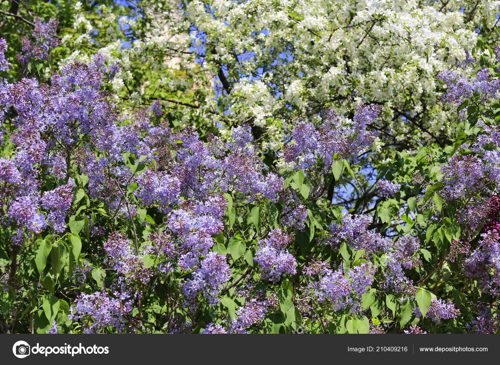 Beautiful Flowering Spring Bushes Trees Natural Background Foto De