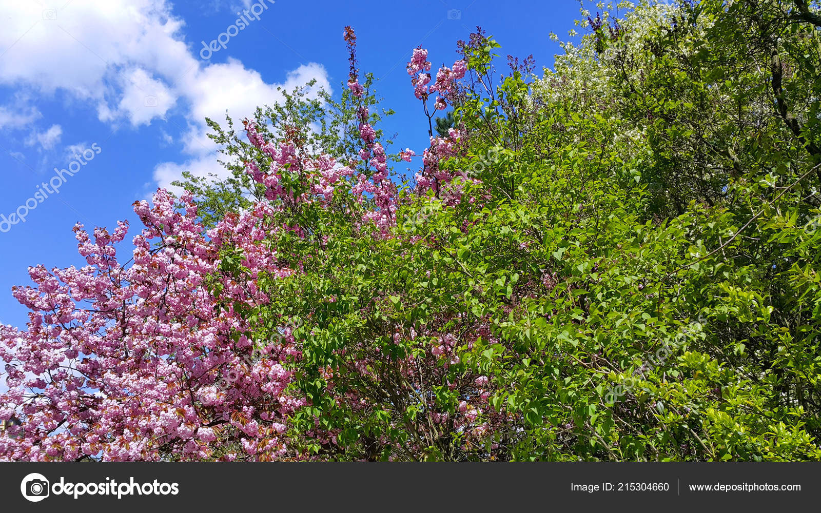 Beautiful Pink Flowers Fresh Green Leaves Spring Trees Blue Sky