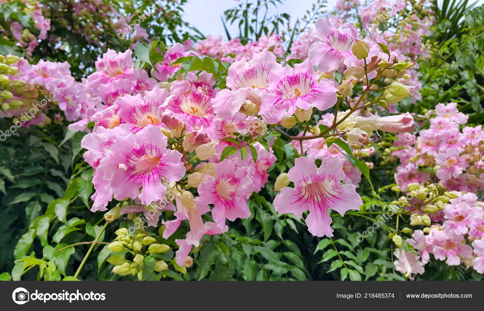 Beautiful flowers of Pink Trumpet vine or Port St John's Creeper (klimop) or Podranea ricasoliana or Campsis radicans or Trumpet creeper or Cow itch vine or ...