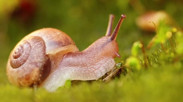 Close-up of a snail slowly creeping in the sunset sunlight.